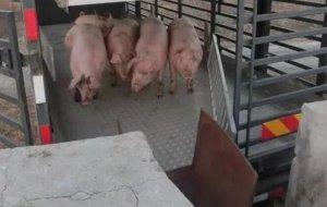 接下来猪价或逐步企稳并有小幅反弹态势,