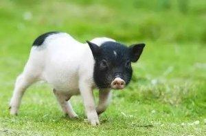 未来10年养猪,这些因素决定你痛哭还是大