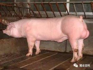 要想母猪产仔多又好,
