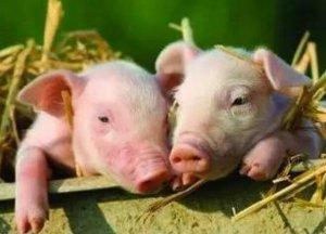 猪场整治的终极目的 环境要好 也要有肉吃