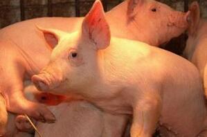 国内猪价迎来全国范围的上涨 出栏体重下