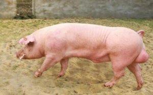 大数据告诉你关于公猪