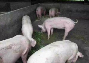 猪价处于快速上涨的通道 但养殖户不要过