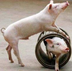 """为什么德国可以成为养猪""""大牛"""""""