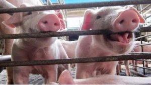 猪场建设--为什么料道和粪道要分