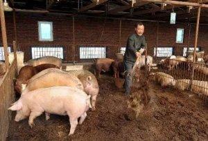 阴谋!猪价低,肉价高!到底是谁在作祟?