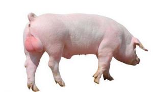 购进种公猪需要注意的几个问题,不然后患