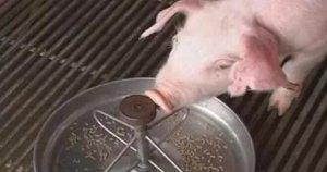 猪久治不愈的原因