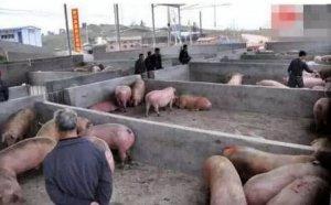 """养猪高盈利已经过去 养殖户应该警惕""""温"""