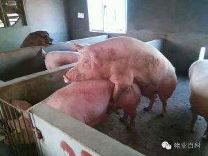 史上最全的母猪黄金配种方案,赶
