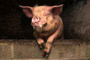 醉酒农夫与自家猪激烈搏斗 被咬伤下体后死亡