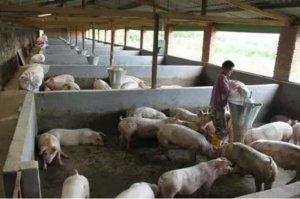 月出栏100头商品肥猪