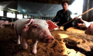 猪场发生猪丹毒该如何