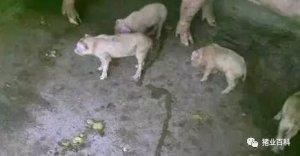 """警惕!""""僵猪"""",掏空您的养殖利润"""
