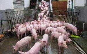你知道吗,如今连猪的性别都能控制啦,而失败率只有1%!