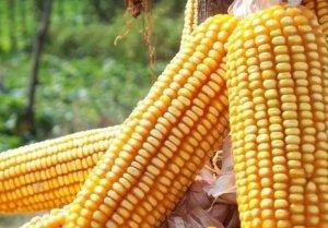 华北玉米价格领涨全国!历史惊人相似,莫