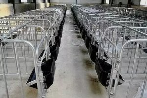 现代化养猪的限位栏,真的现代吗?
