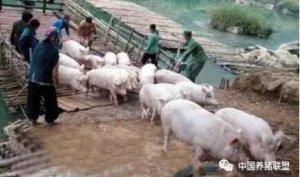 我国养猪业正大换血,90%养猪人要面临重大打击