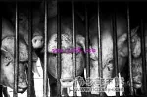 柬埔寨 ――每天大概一万只非法进口猪流进