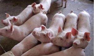 猪价易涨难跌 预计短期内稳中上涨 部分地