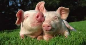 断奶仔猪腹泻的原因及预防措施!