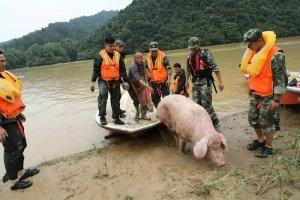 江西现史上最命硬母猪,被山洪冲到下游20
