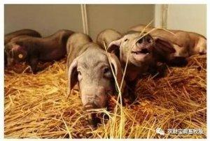 智能猪场成趋势?华北首个智能高效猪场在河北沧州投产