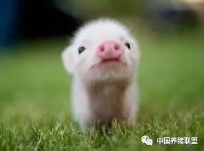 浅谈七八月及整个下半年猪价走势....