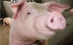 猪传染性胸膜肺炎与猪肺炎的区别!
