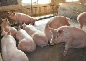 你知道育肥猪啥时间出