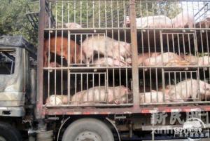 屠宰点遭关停 万宁北大镇政府安排车辆帮运生猪