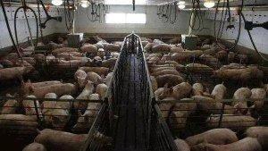 美国等发达国家大型猪场如何处理养猪屎尿
