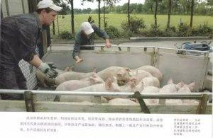 育肥猪养殖技术_育肥猪_育肥猪的饲养理_养猪技术_阶段饲养_猪e网