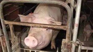养好母猪的关键是什么?你知道吗?