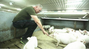 国外养猪成本那么低,他们怎么养的?