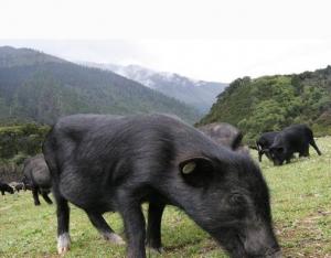 """""""七个一""""布局藏猪产业发展"""