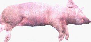 立陶宛再现非洲猪瘟 2.3万头猪将被宰杀