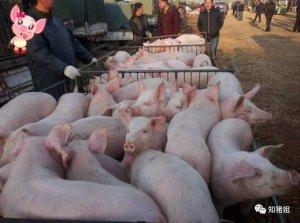 最容易导致仔猪突然伤亡的四种猪病,养殖