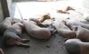 高温之下 危险的不只是猪价还有猪只本身,屠宰企业针对大体重猪只压价 但压价空间或不大