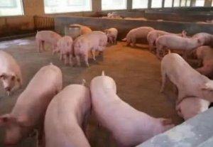 夏季猪场饲养管理应该注意的事项!