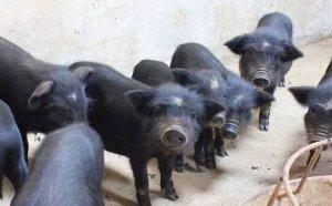 环保大地震席卷整个养猪业,谁是最终的受