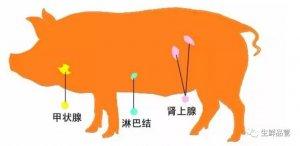 [附图]生猪屠宰知识点之三腺