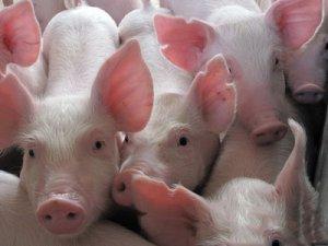6000头生猪养殖基地项目开工