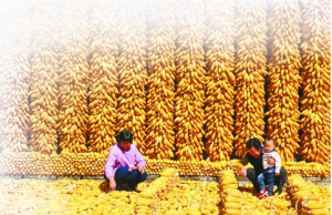 玉米期货高位震荡,陈