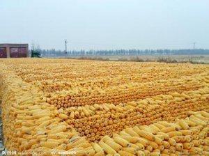 玉米供给和需求的天平
