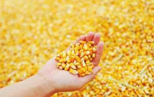 政策粮大量流入,玉米