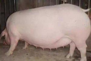 妊娠母猪管理技巧,仔