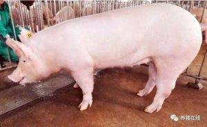 怎样才知道母猪是否已