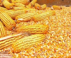 后期玉米将面临重新走