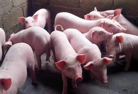 养猪户必须知道的,提高瘦肉率的关键因素